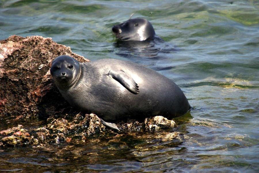 nerpa-to-jeden-z-nielicznych-gatunkow-fok-slodkowodnych-na-swiecie-blog-transsyberyjska