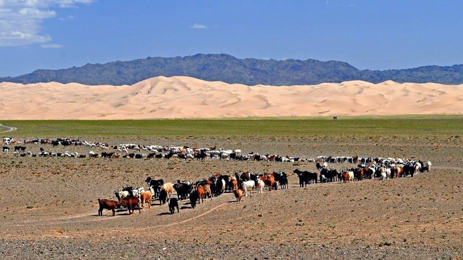 Na Gobi możesz natrafić na pastwiska kóz, owiec, koni oraz wielbłądów. fot. pixabay