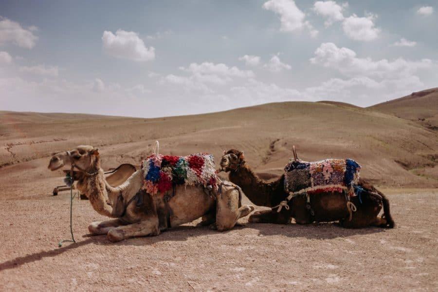 W Mongolii istnieje możliwość przejażdżki na dwugarbnym wielbłądzie.